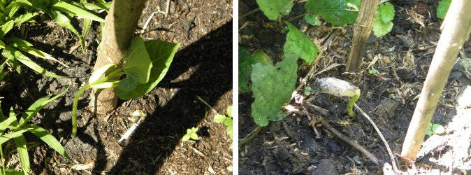 Images of         sprouting Butter Beans