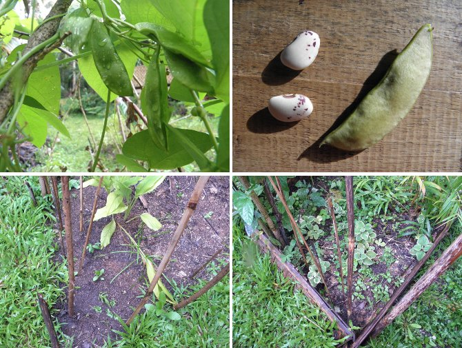 Ijmages of Butter Beans -on the vine, as seeds and         planted