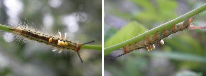 Images of         caterpillar found in garden