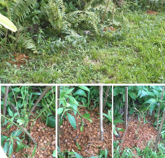 Images of transplanted Citrus trees