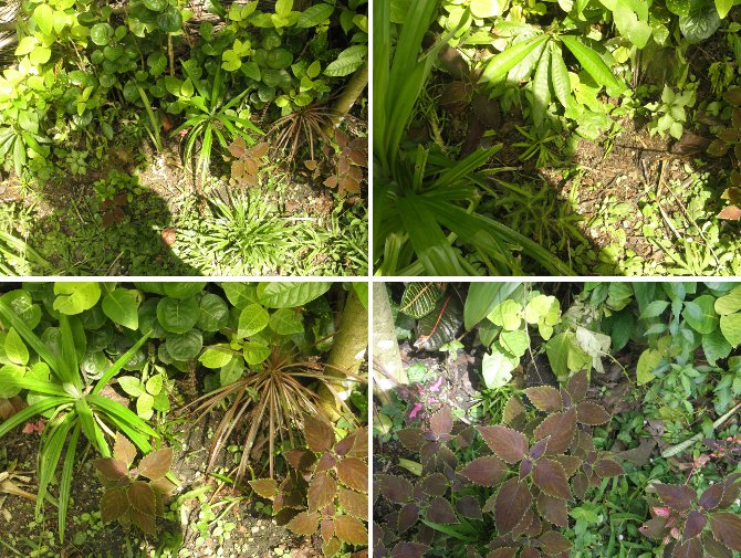 Images of hedge repaired after tree felling