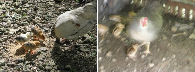 Images of surviving chicks -and a new batch
