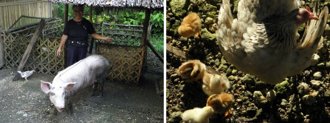 Images of Pig with helper and Hen with             chicks