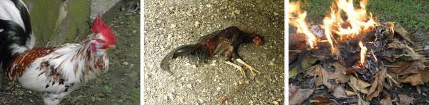 Images of killer rooster, his victim and the         funeral pyre