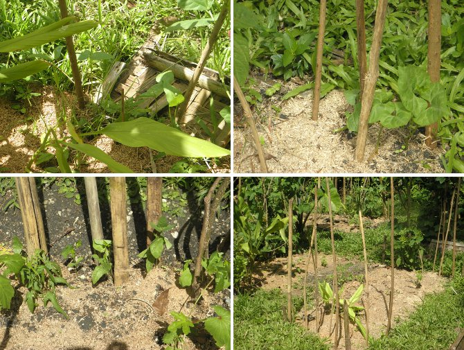 Images of young bean Plants
