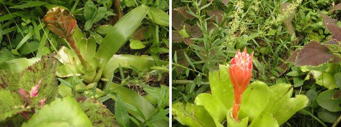 two Bromeliads